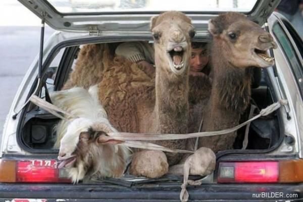 Die besten 100 Bilder in der Kategorie transport: Kamel und Ziege singen auf der Arche Noah