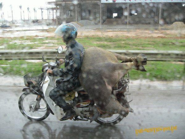 Die besten 100 Bilder in der Kategorie transport: Schweinerei! große Sau wird auf Moped transportiert