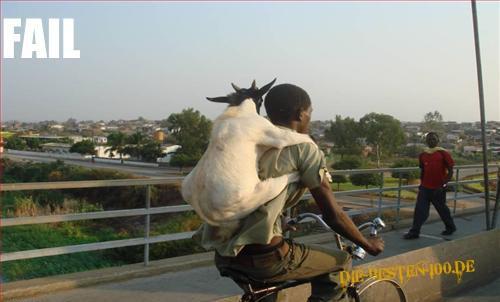 Die besten 100 Bilder in der Kategorie transport: Ziege auf dem Rücken