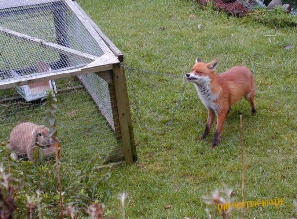 Die besten 100 Bilder in der Kategorie clever: Fuchs öffnet Hasenstall