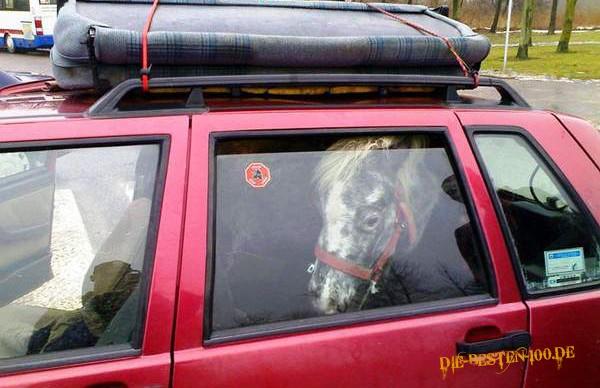 Die besten 100 Bilder in der Kategorie transport: Pferd in Auto transportiert