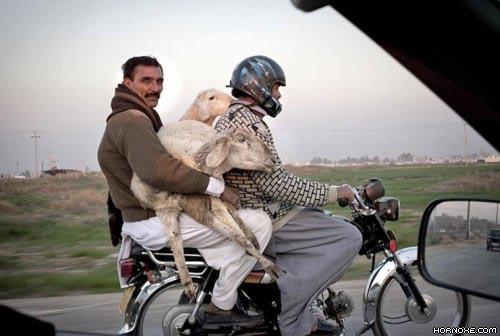 Die besten 100 Bilder in der Kategorie transport: Schaaf, motorrad, transport