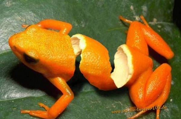 Die besten 100 Bilder in der Kategorie photoshops: Photoshop Art - Mandarinen-Schalen-Frosch