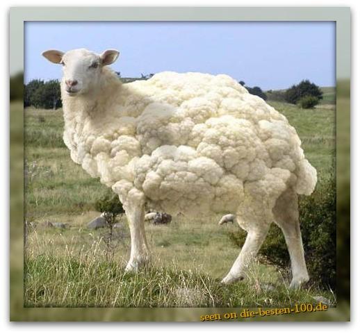 Die besten 100 Bilder in der Kategorie photoshops: Blumenkohl-Schaf
