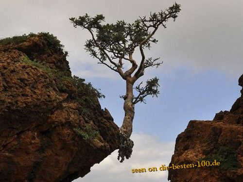 Tree without Fear - Tree on Rock
