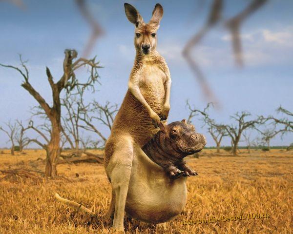 Die besten 100 Bilder in der Kategorie photoshops: Hippo Kangoroo