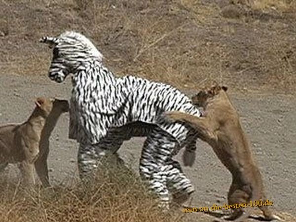 Funny but very Stupid Idea - Zebra vs. Lions