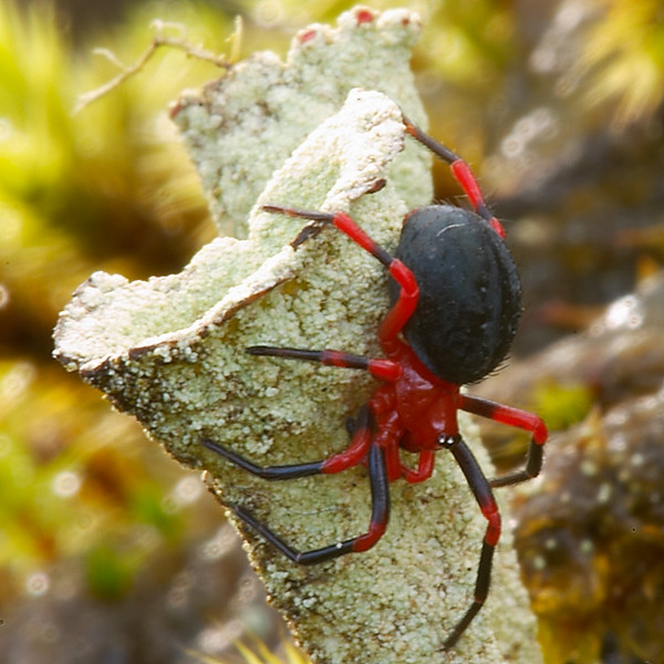 Toxic? red black Spider