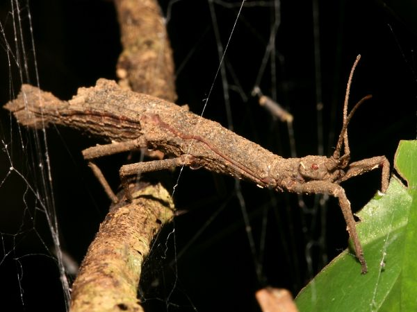 Erawan Stick Insect