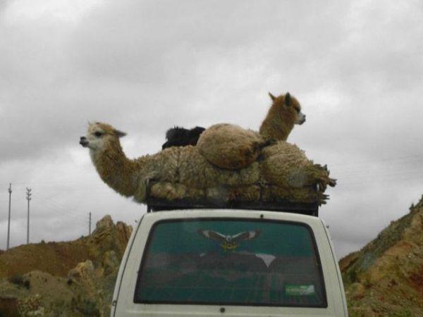 Die besten 100 Bilder in der Kategorie transport: lama, auto, transport