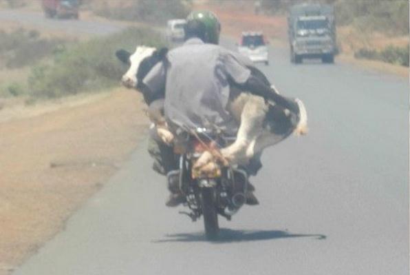 Die besten 100 Bilder in der Kategorie transport: Muhtorrad - Kuh mit Motorrad transportieren