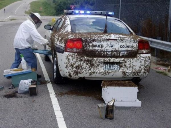 Killer Bees Attack -- Sheriff Car
