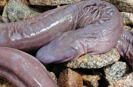 A penis snake has been discovered in Brazil!