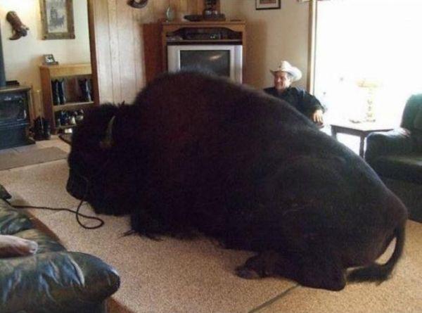 tiere texaner haustier bison die besten 100 bilder in vielen kategorien. Black Bedroom Furniture Sets. Home Design Ideas