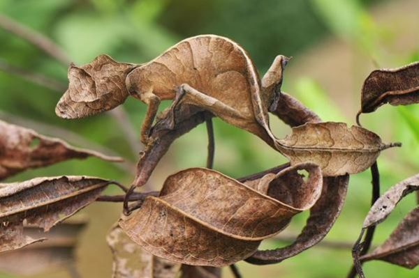 Fantastic Leaf-Tail Gecko