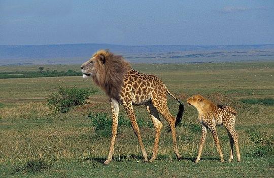 Die besten 100 Bilder in der Kategorie photoshops: Löraffe - Löwen-Giraffe