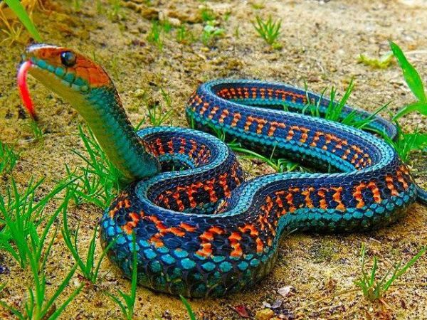 Seems to be poisonous - Colorful Snake