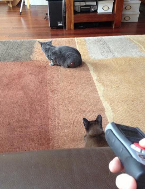 Cat-Fight in 3,2,1... Cat Laserpointer Fun
