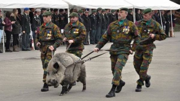 Military, wild boar, parade, weapon
