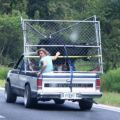 Die besten Bilder in der Kategorie transport: Bull Transport on Pickup