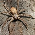The Best Pics:  Position 45 in  - Huntsman Spider Isopeda vasta