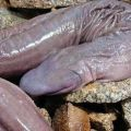 Die besten Bilder in der Kategorie Vote: A penis snake has been discovered in Brazil!