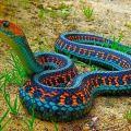 Die besten Bilder in der Kategorie Vote: Seems to be poisonous - Colorful Snake