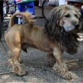 The Best Pics:  Position 82 in  - King of the Dogs - Lion-Dog