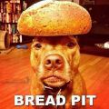 The Best Pics:  Position 6 in  - Bread Pit, Pitbull, Dog, Bread