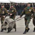 Die besten Bilder in der Kategorie Vote: Military, wild boar, parade, weapon